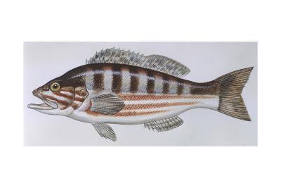 Fishes: Perciformes Serranidae - Comber (Serranus Cabrilla)--Giclee Print