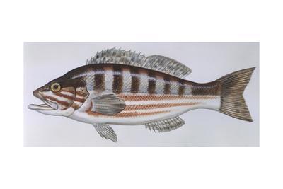 https://imgc.artprintimages.com/img/print/fishes-perciformes-serranidae-comber-serranus-cabrilla_u-l-pve8dt0.jpg?p=0