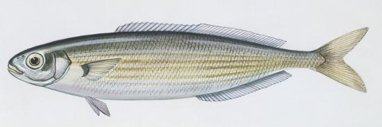 Fishes: Perciformes Sparidae - Salema (Sarpa Salpa)--Giclee Print