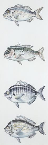 Fishes: Perciformes Sparidae--Giclee Print