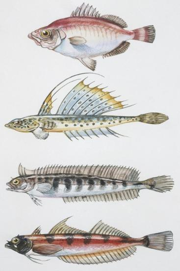 Fishes: Perciformes--Giclee Print