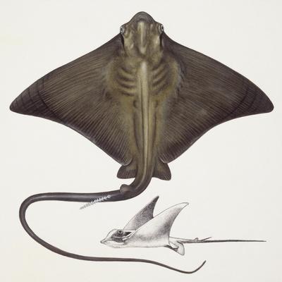 https://imgc.artprintimages.com/img/print/fishes-rajiformes-common-eagle-ray-myliobatis-aquila_u-l-pvhc600.jpg?p=0
