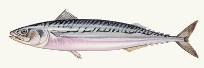 Fishes: Scomber, Atlantic Mackerel (Scomber Scombrus)--Giclee Print