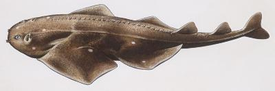 Fishes: Squatiniformes Squatinidae, Angelshark (Squatina Squatina)--Giclee Print