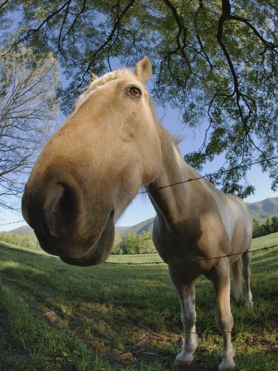 Fisheye View of Horse Looking over Fence, Cades Cove, Great Smoky Mountains N.P. TN-Adam Jones-Photographic Print