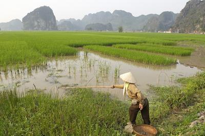 Fishing in the rice fields tam coc ninh binh area vietnam