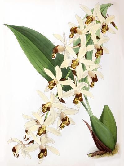 Fitch Orchid Caelogyne Massangena- New York Botanical Garden-Art Print