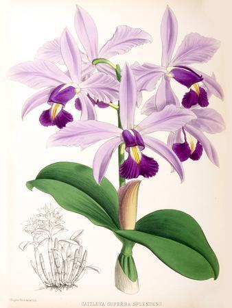 https://imgc.artprintimages.com/img/print/fitch-orchid-cattleya-superba-splendens_u-l-f93ydq0.jpg?p=0