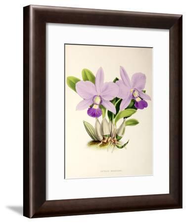 Fitch Orchid Cattleya Walkeriana- New York Botanical Garden-Framed Art Print