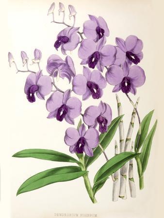 https://imgc.artprintimages.com/img/print/fitch-orchid-dendrobium-bigibbum_u-l-f93z9q0.jpg?p=0