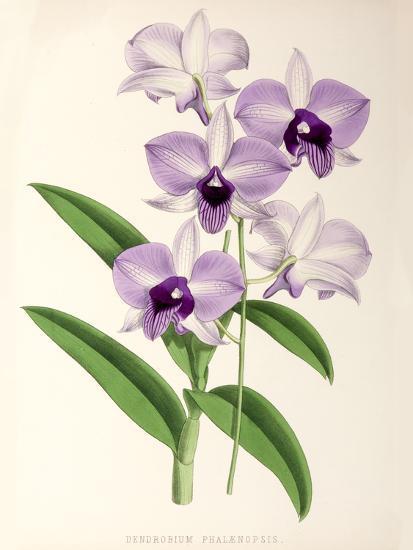 Fitch Orchid Dendrobium Phlaenopsis- New York Botanical Garden-Art Print