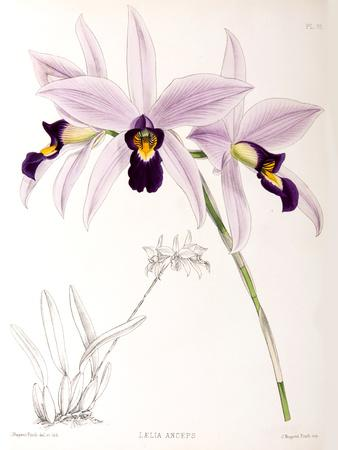 https://imgc.artprintimages.com/img/print/fitch-orchid-laelia-anceps_u-l-f93zs70.jpg?p=0