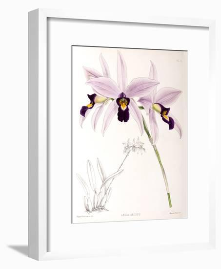 Fitch Orchid Laelia Anceps-New York Botanical Garden-Framed Art Print