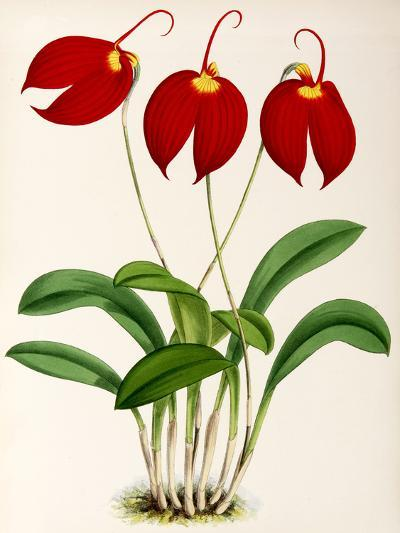 Fitch Orchid Masdevalliaignea- New York Botanical Garden-Art Print