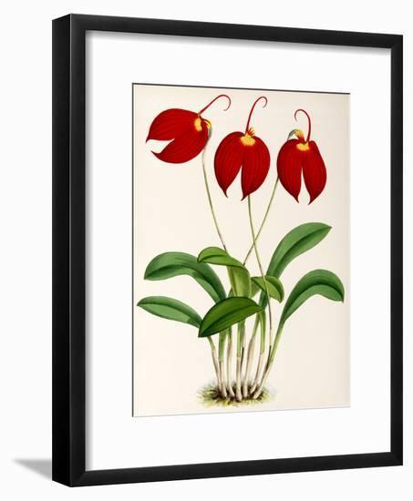 Fitch Orchid Masdevalliaignea-New York Botanical Garden-Framed Art Print