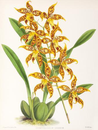 https://imgc.artprintimages.com/img/print/fitch-orchid-odontoglossum-leeanum_u-l-f93zh60.jpg?p=0