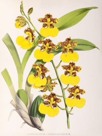 https://imgc.artprintimages.com/img/print/fitch-orchid-odontoglossum-londesboroughianum_u-l-f93zpb0.jpg?p=0