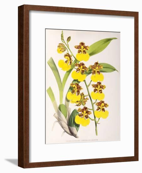 Fitch Orchid Odontoglossum Londesboroughianum-New York Botanical Garden-Framed Art Print