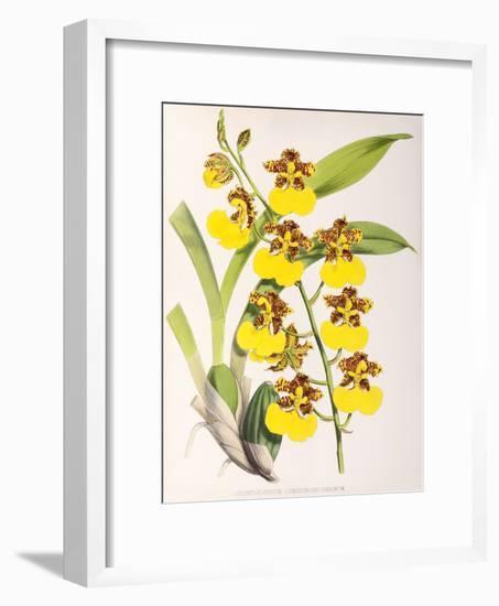 Fitch Orchid Odontoglossum Londesboroughianum-New York Botanical Garden-Framed Art Print