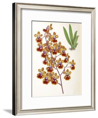 Fitch Orchid Oncidium Haematochilum- New York Botanical Garden-Framed Art Print