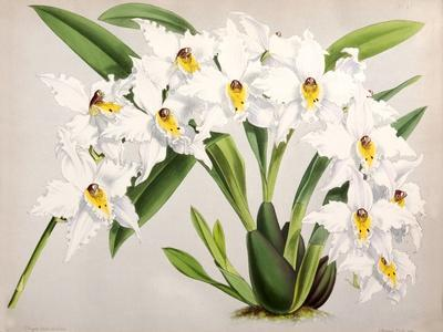 https://imgc.artprintimages.com/img/print/fitch-orchid-plate47_u-l-f93z210.jpg?p=0