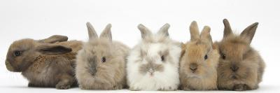 Five Baby Lionhead-Cross Rabbits in Line-Mark Taylor-Photographic Print