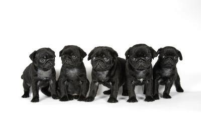 Five Black Pug Puppies (6 Weeks Old)--Photographic Print