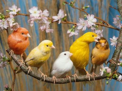 Five Canaries of Different Colours-Reinhard-Photographic Print