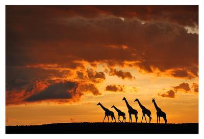 https://imgc.artprintimages.com/img/print/five-giraffes_u-l-f8sz2f0.jpg?p=0