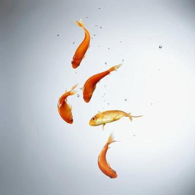 Five goldfish swimming with bubbles--Photographic Print