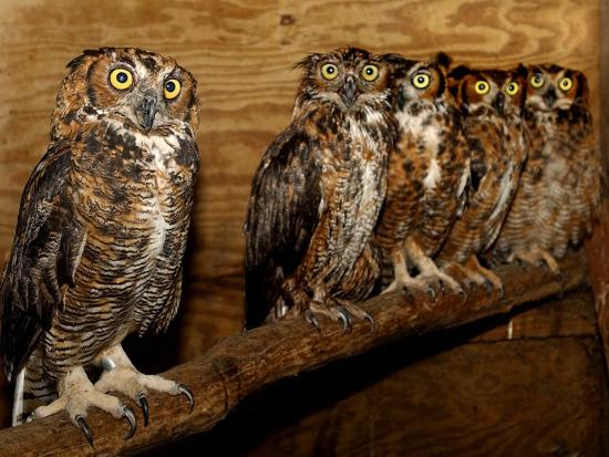 Five Great Horned Owls--Photographic Print