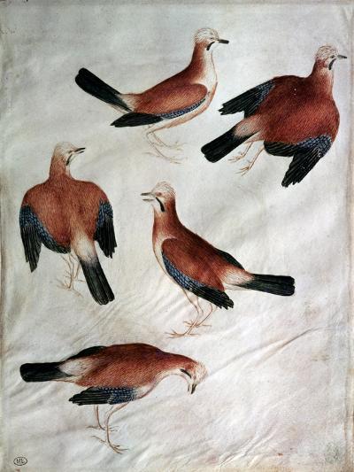 Five Jays-Antonio Pisani Pisanello-Giclee Print