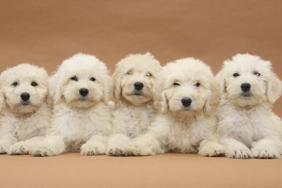 Five Labradoodle Puppies, 9 Weeks-Mark Taylor-Photographic Print