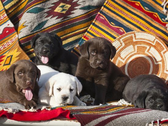 Five Labrador Retriever Puppies of All Colors on Southwestern Blankets-Zandria Muench Beraldo-Photographic Print