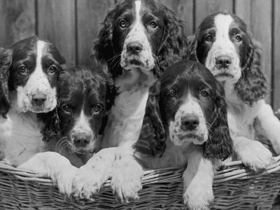 Five Large Spaniel Puppies Crowded in a Basket Owner: Browne-Thomas Fall-Photographic Print