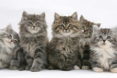 Five Maine Coon Kittens, 8 Weeks-Mark Taylor-Photographic Print
