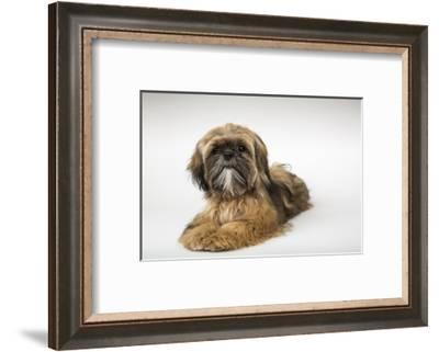 Five month old Shih Tzu puppy reclining in a studio setting.-Janet Horton-Framed Photographic Print