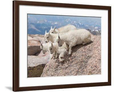 Five Mountain Goat Kids Prepare to Jump Off of a Rock-Richard Seeley-Framed Photographic Print