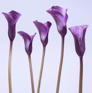 Five Purple Calla Lillies