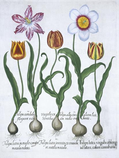 Five tulips, 1613-Unknown-Giclee Print