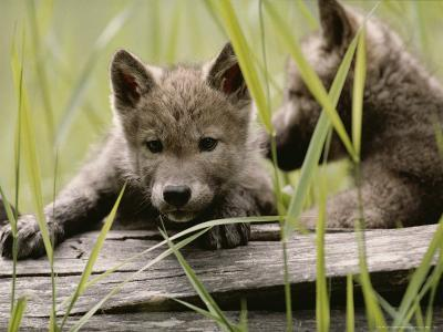 Five-Week-Old Gray Wolf, Canis Lupus, Climbs Over a Fallen Log-Jim And Jamie Dutcher-Photographic Print