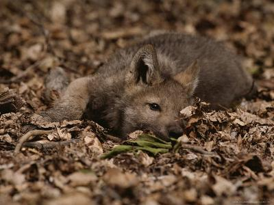 Five-Week-Old Gray Wolf Pup, Canis Lupus, Rests in a Pile of Leaves-Jim And Jamie Dutcher-Photographic Print
