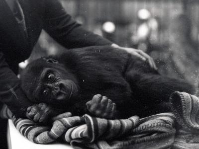 Five Year Old Gorilla Lying Down, Being Comforted by a Keeper-Frederick William Bond-Photographic Print