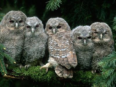 Five Young Tawny Owls, Germany-Delpho-Photographic Print