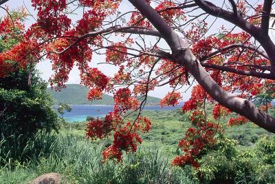 Flamboyan Tree On Culebra, Puerto Rico-George Oze-Photographic Print