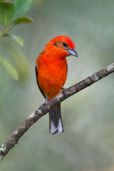 Flame-Colored Tanager (Piranga Bidentata), Sarapiqui, Costa Rica--Photographic Print