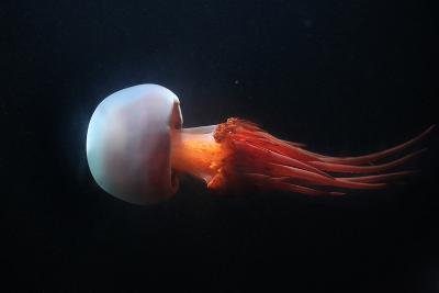 Flame Jellyfish (Rhopilema Esculentum). Wildlife Animal.-Vladimir Wrangel-Photographic Print