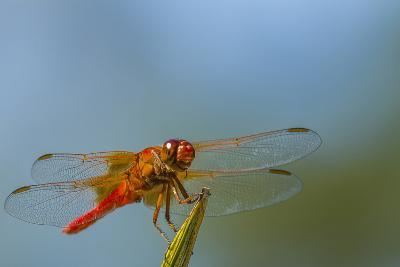 Flame Skimmer Dragonfly Drying its Wings on a Daytime Perch-Michael Qualls-Photographic Print