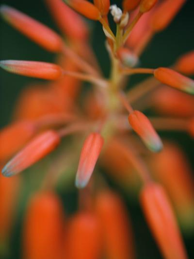 Flaming Flower Buds II-Nicole Katano-Photo