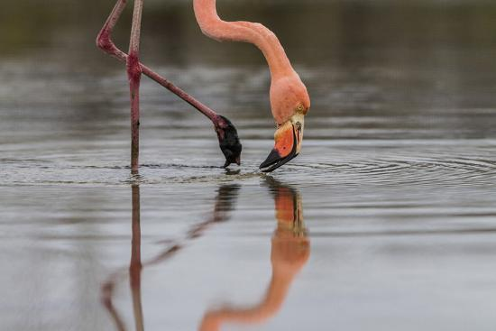 Flamingo Eating in the Galapagos Islands, Ecuador-Karine Aigner-Photographic Print